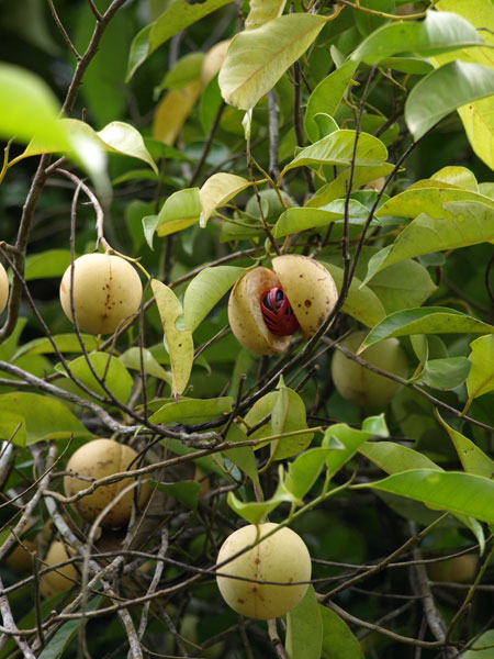 nutmeg_tree