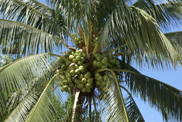 coconutpalm-tree-2