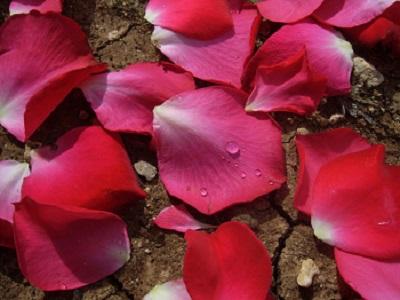 rose-petals2