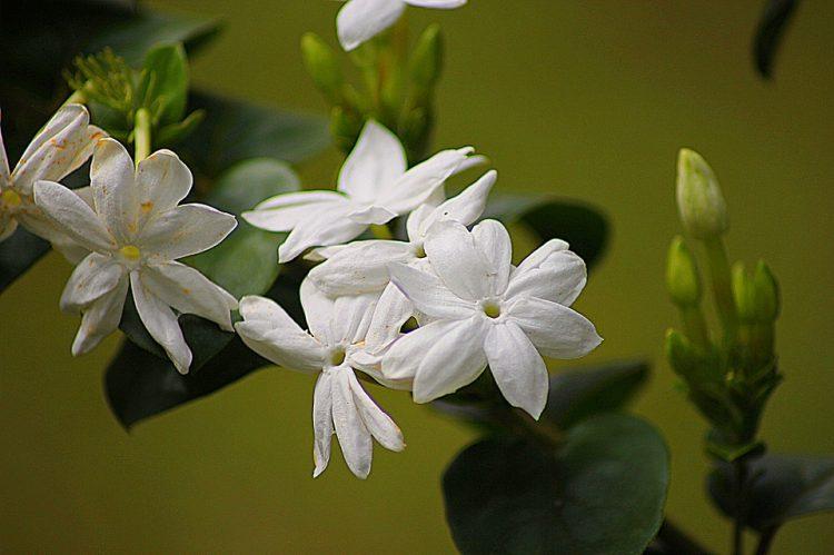Jasmine Flower Pixabay