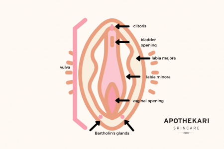vulva-vagina-anatomy-apothekari-skincare
